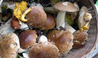 NATURE : La cueillette des champignons